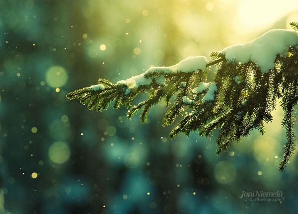 pine_needles_in_the_snowfall_by_nitrok-d2kyn19